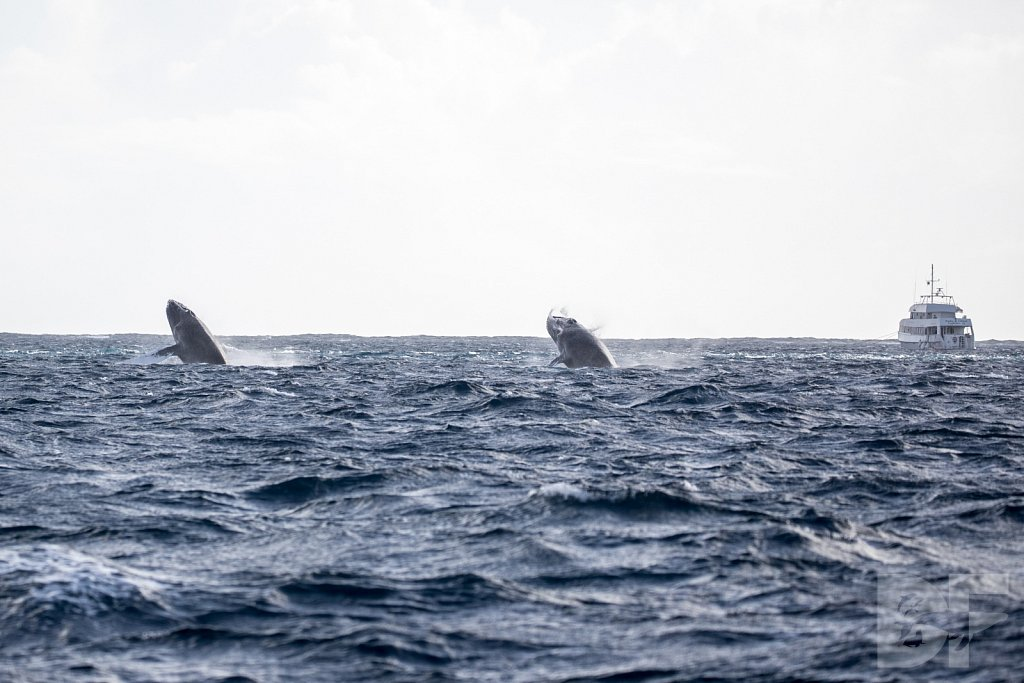 Humpbacks of the Silver Bank LCIX