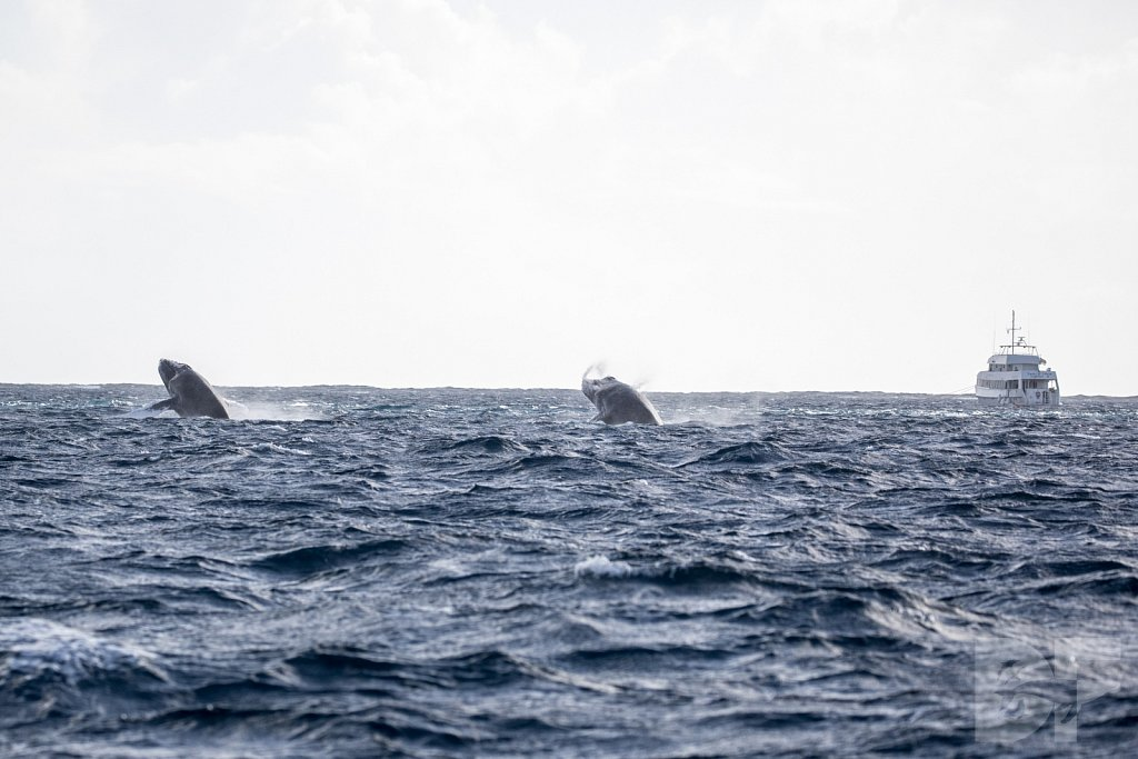 Humpbacks of the Silver Bank C