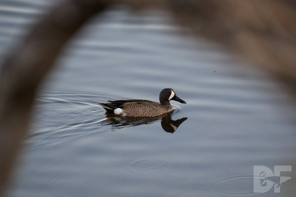 Blue Winged Teal I