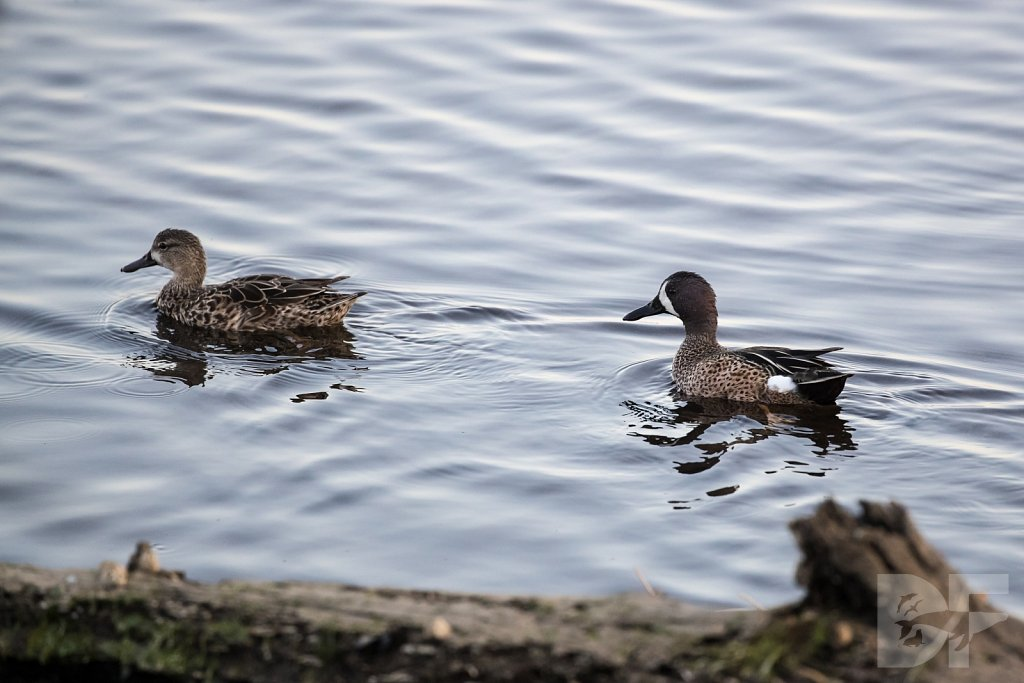 Blue Winged Teal II