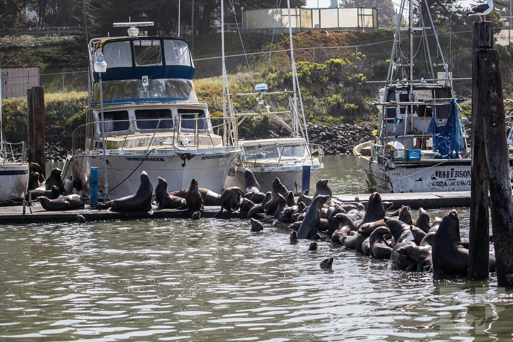 Monterey Day Trip:  California Sea Lions