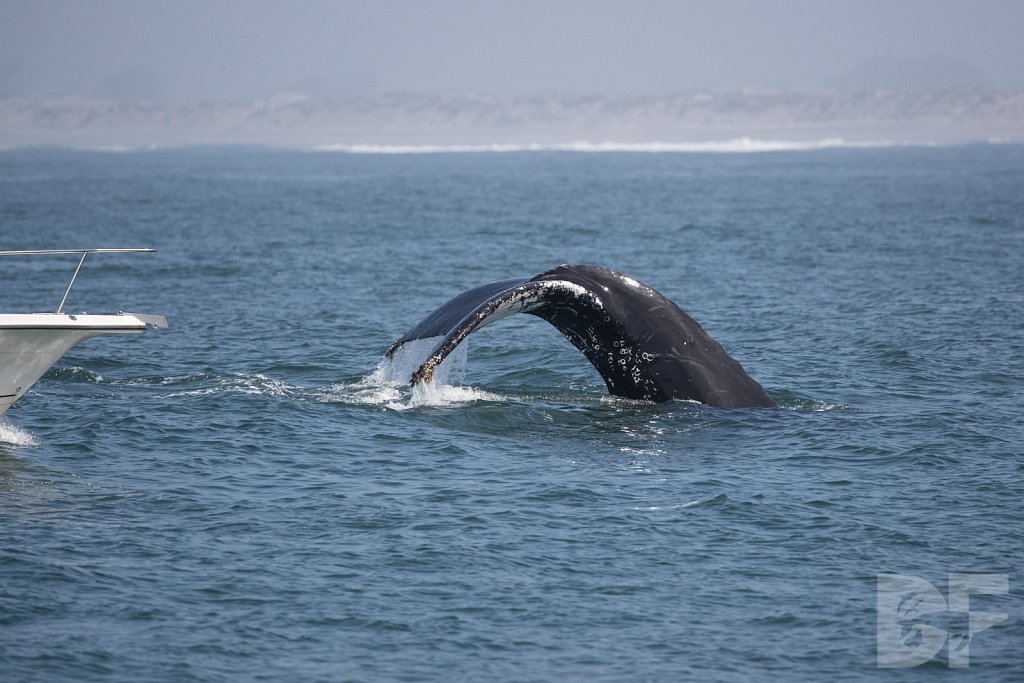 Monterey Day Trip: Humpbacks I