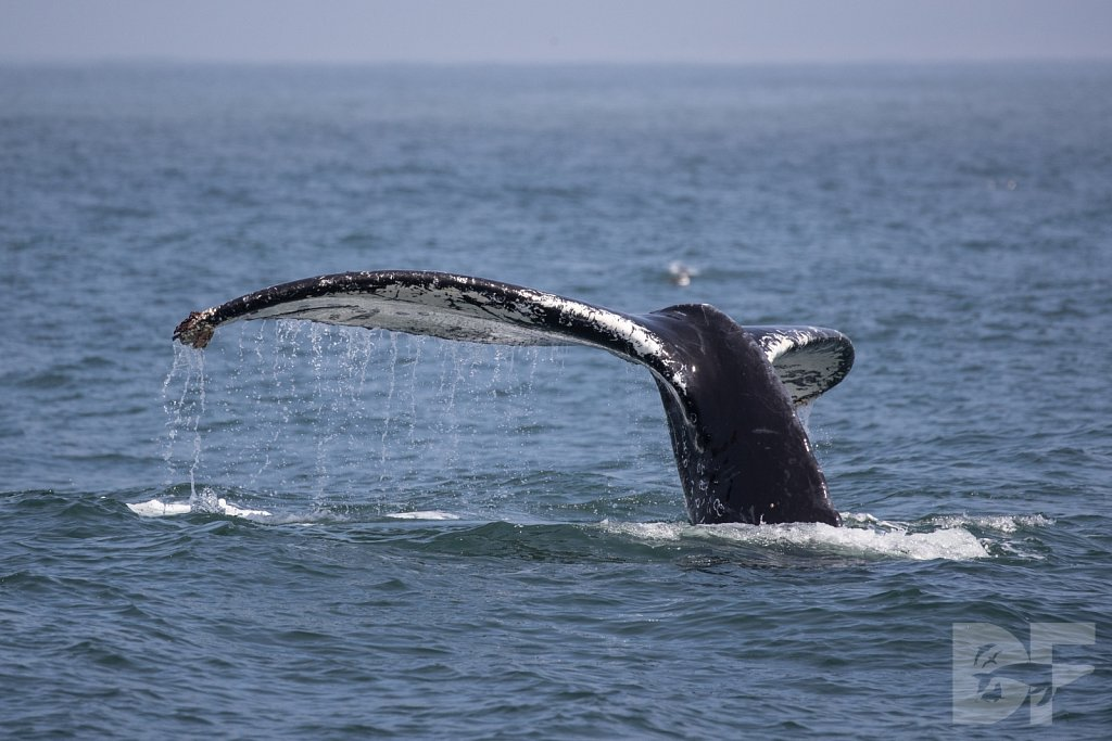 Monterey Day Trip: Humpbacks II