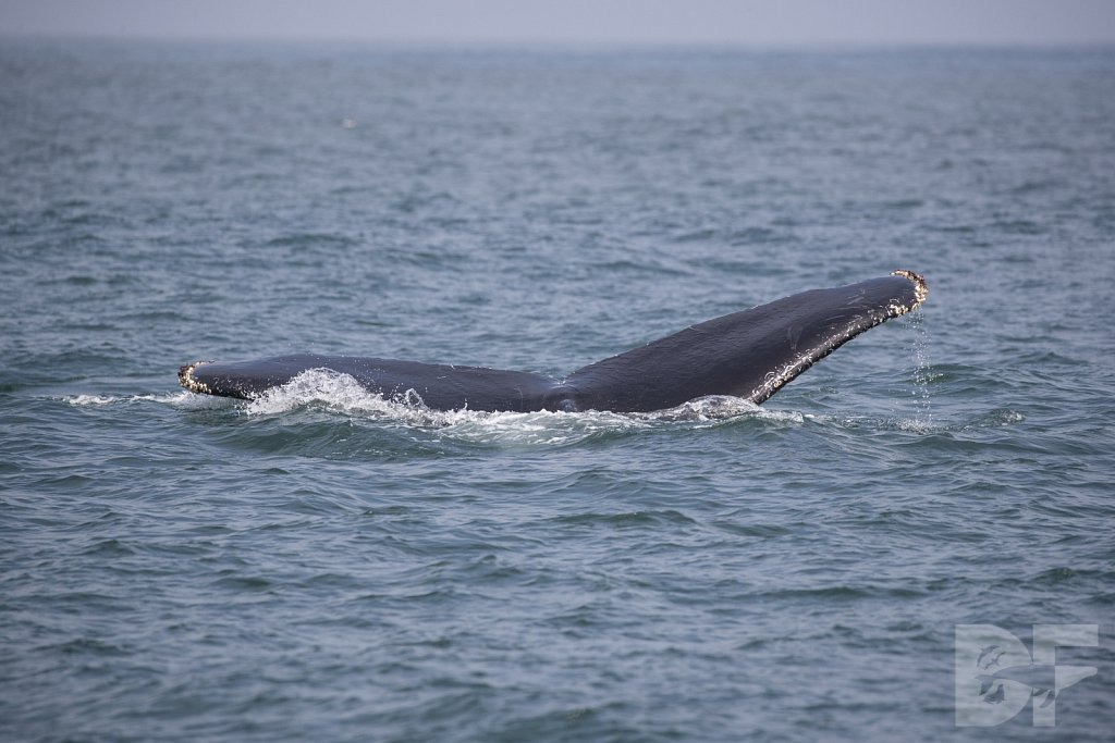 Monterey Day Trip: Humpbacks V