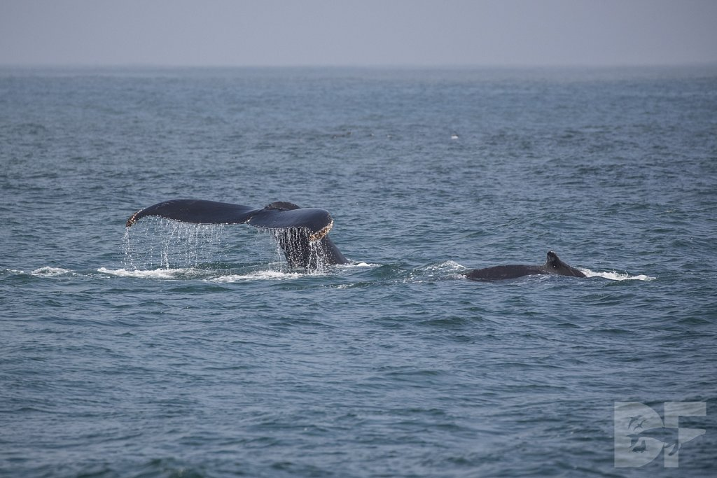Monterey Day Trip: Humpbacks VI