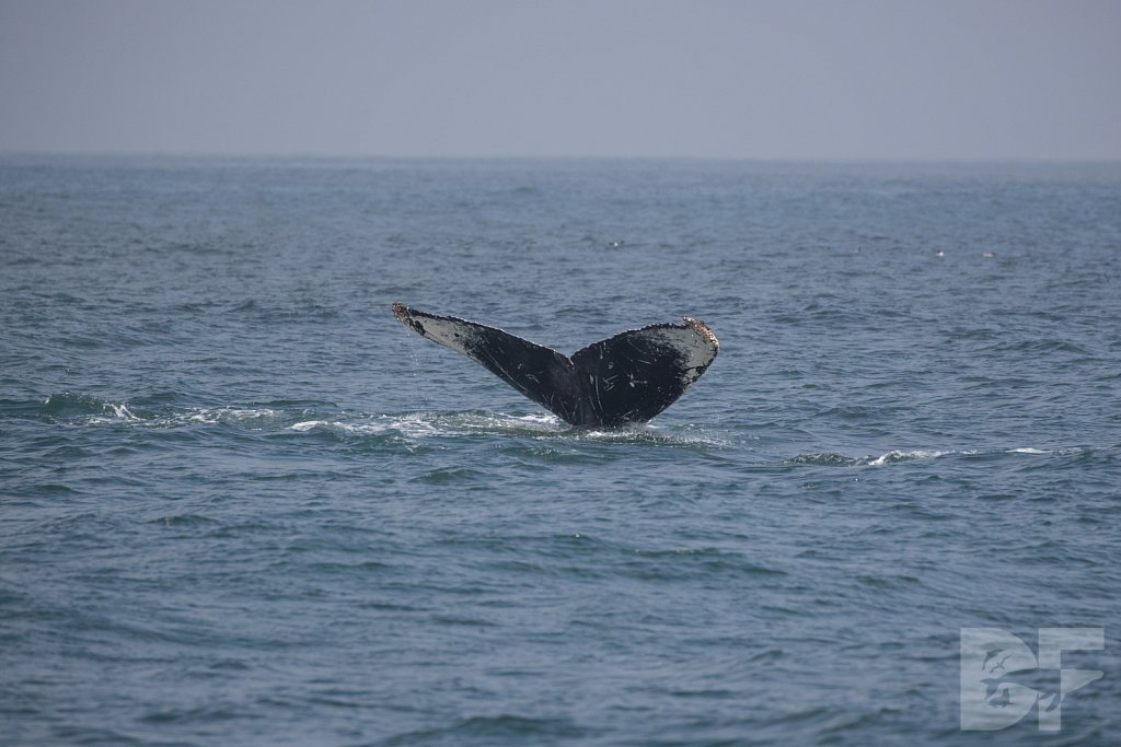 Monterey Day Trip: Humpbacks VII