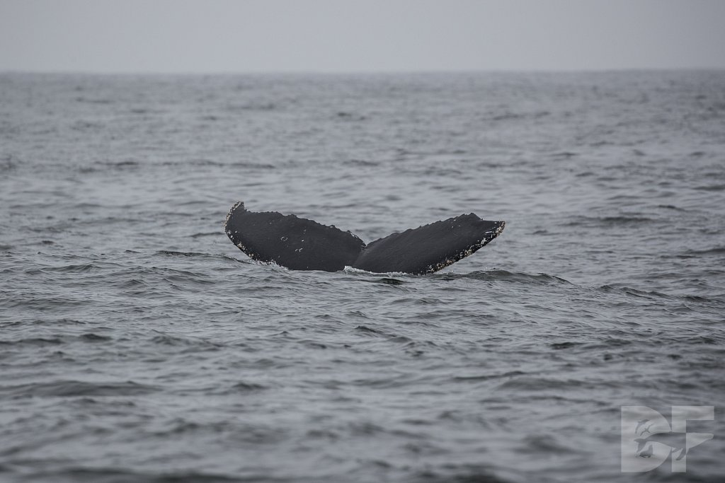 Monterey Day Trip: Humpbacks XI