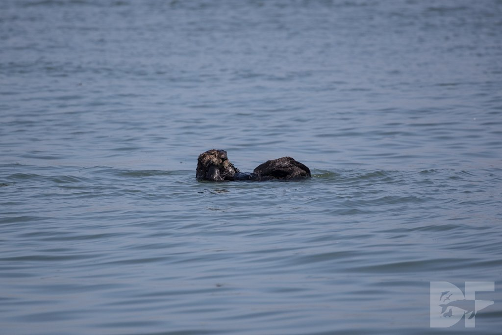 Monterey Day Trip:  Otters III