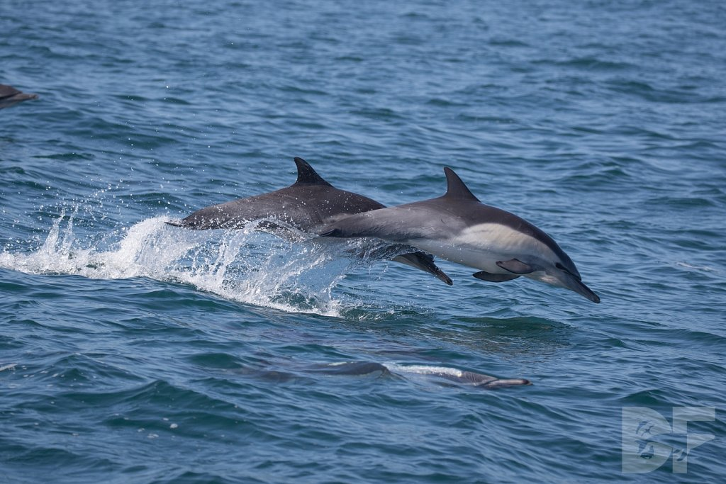Common Dolphin Good IV