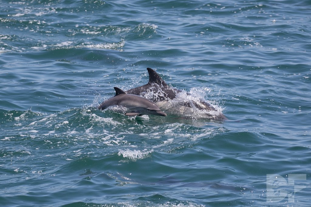 Common Dolphin Good V