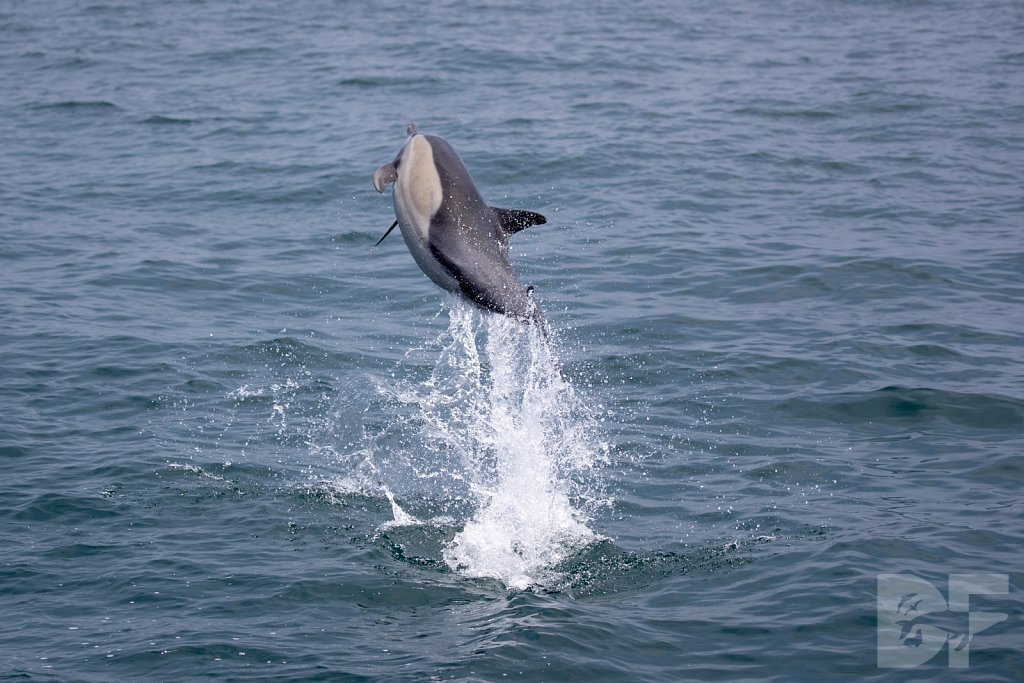 Common Dolphin Good VIII