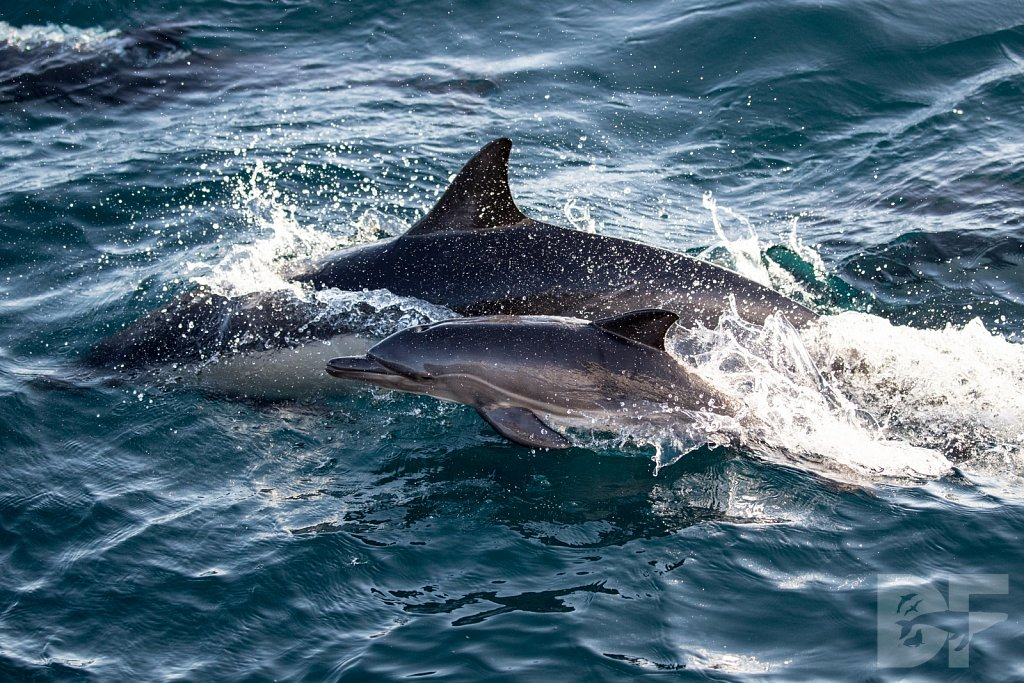 Common Dolphin Good XXV