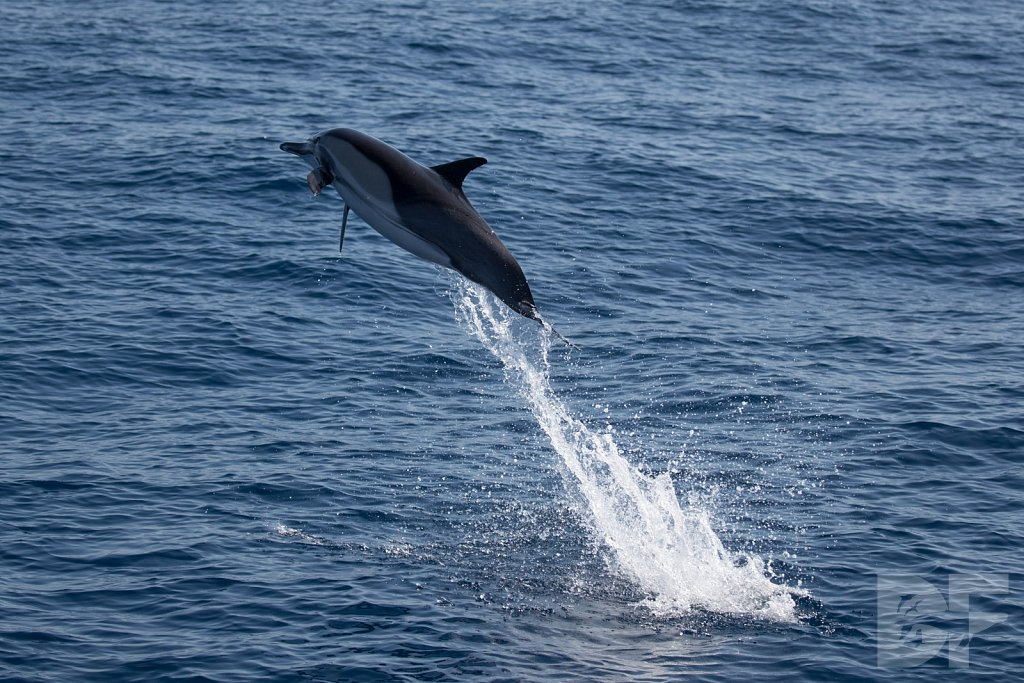 Common Dolphin Good XXVI