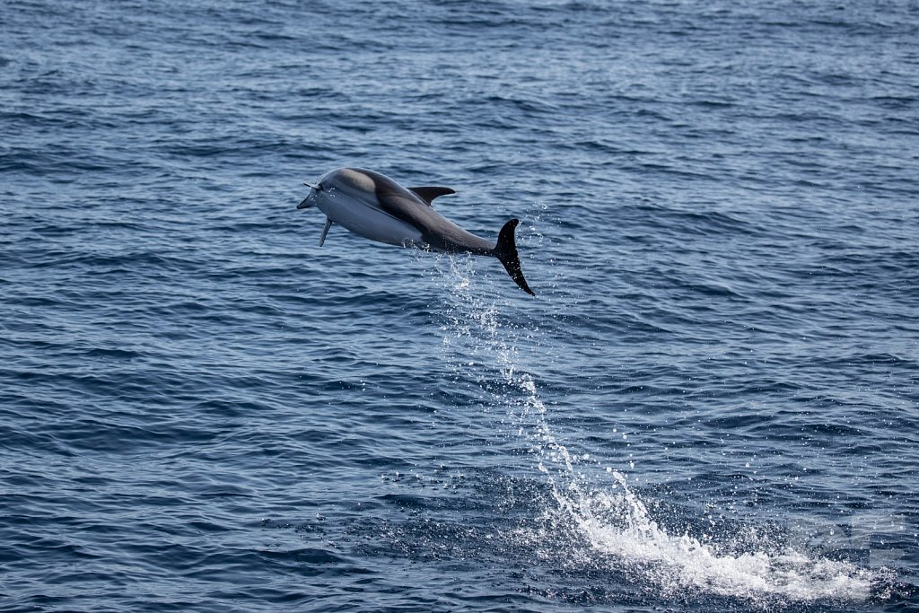 Common Dolphin Good XXVII