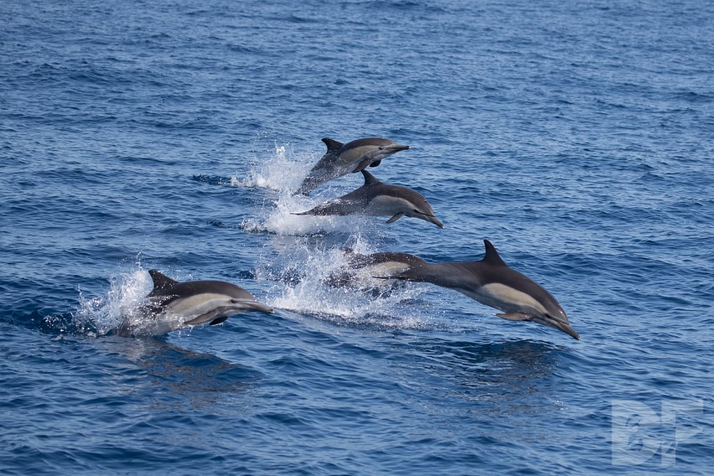 Common Dolphin Good XXIX