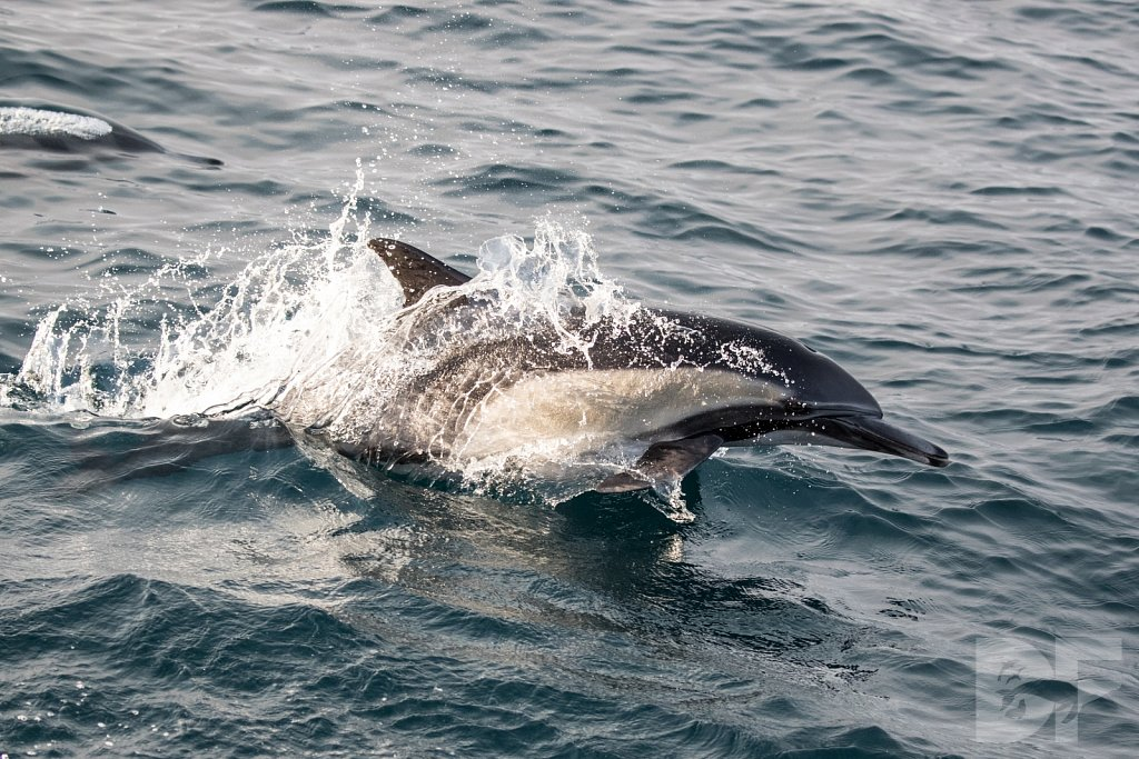 Common Dolphin Good XXXVIII