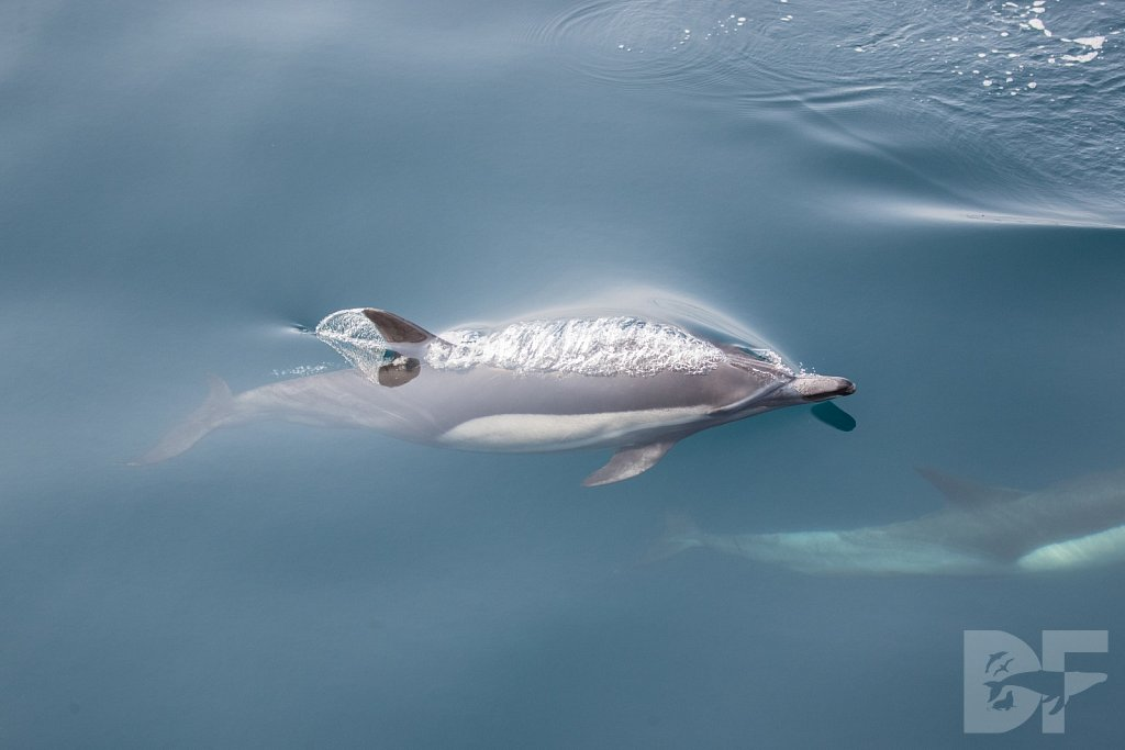 Common Dolphin Good XL