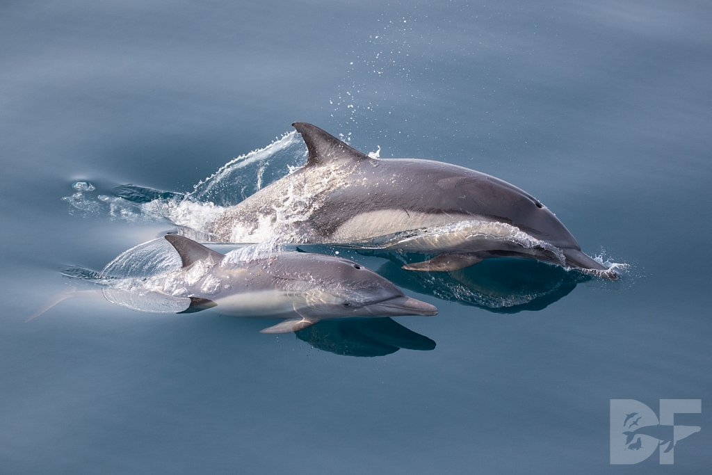 Common Dolphin Good XLIII