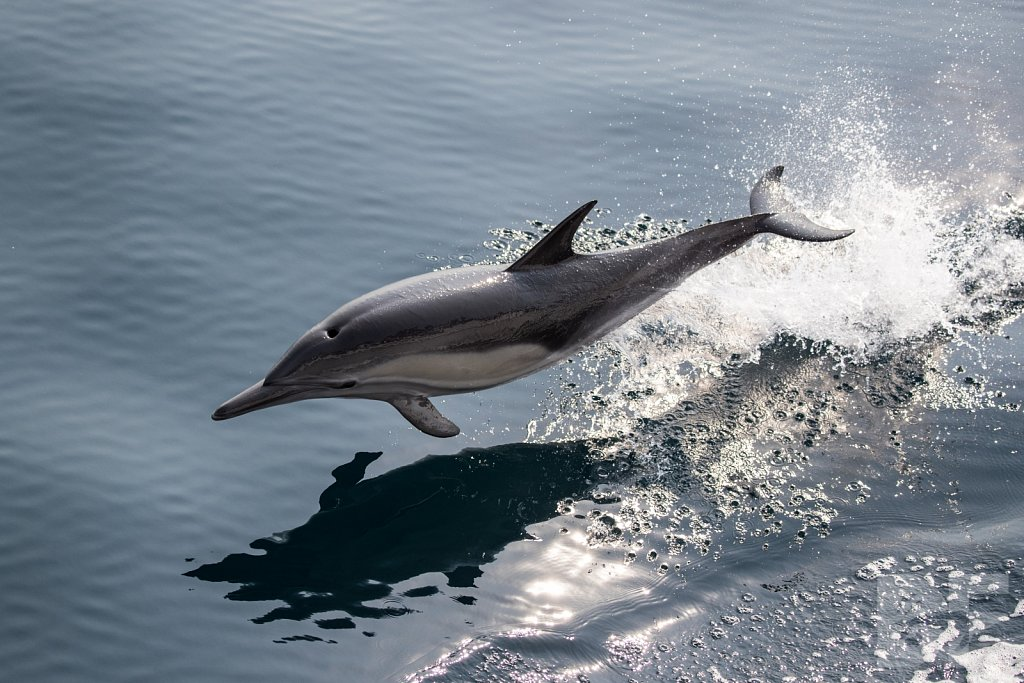 Common Dolphin Good XLVII