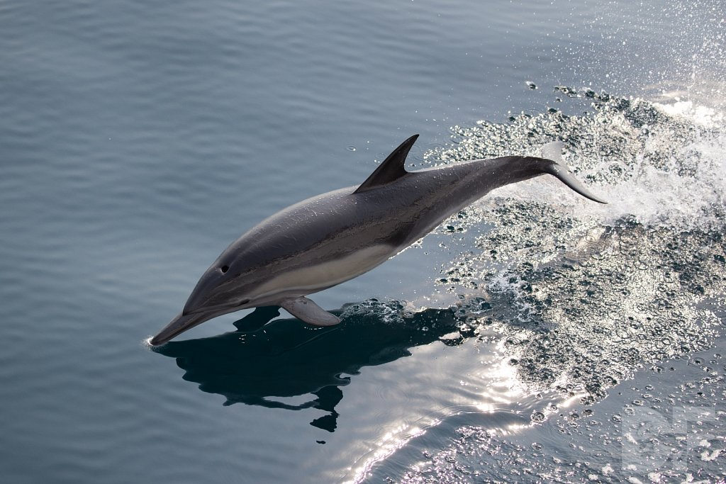Common Dolphin Good XLVIII