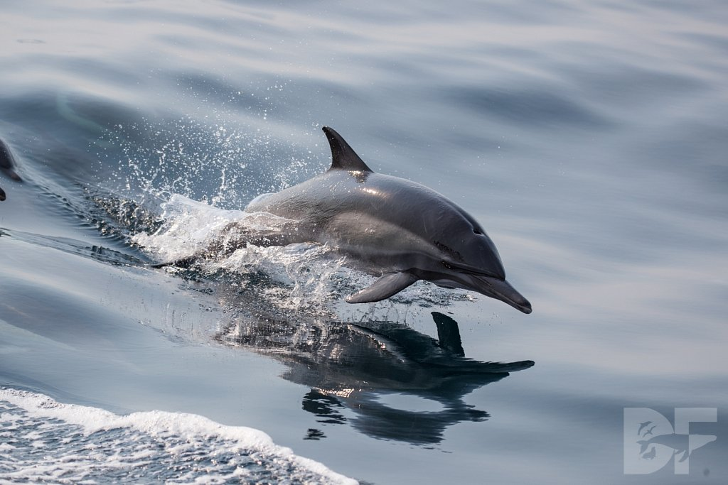 Common Dolphin Good LIV