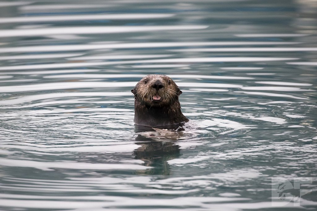 Otter of the North I