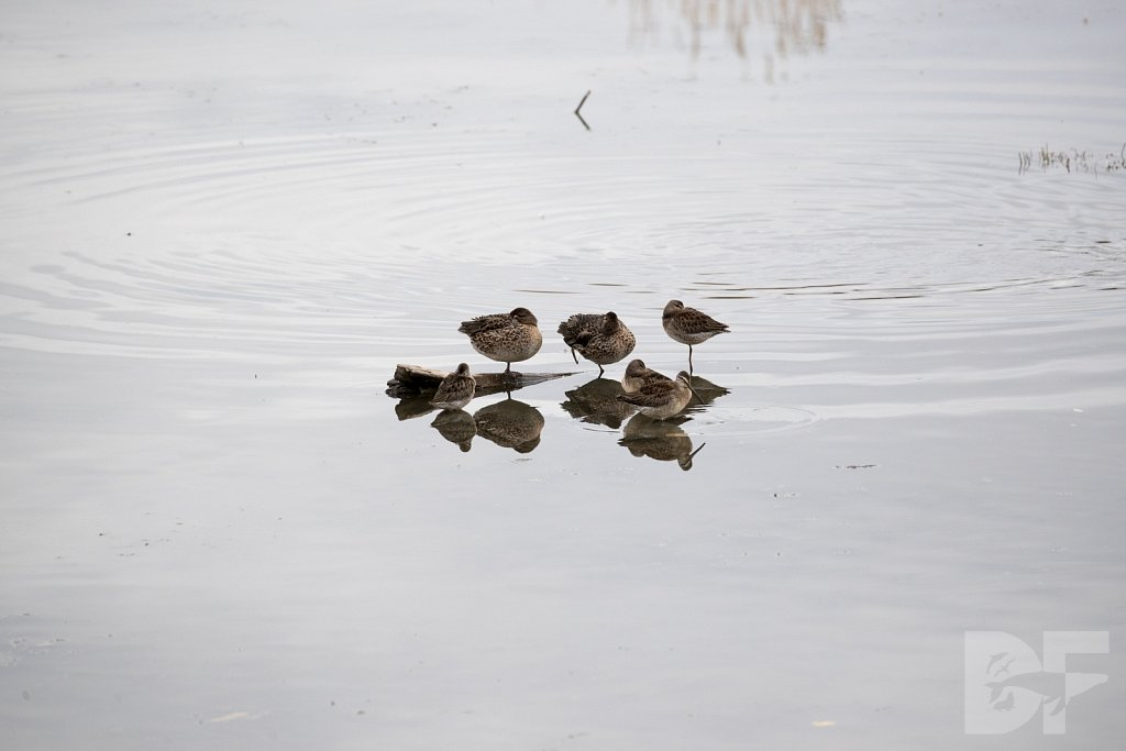 Long Billed Dowitchers