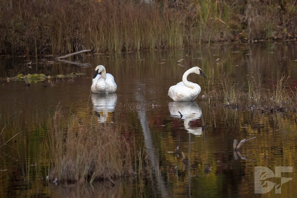 Two Trumpeters III