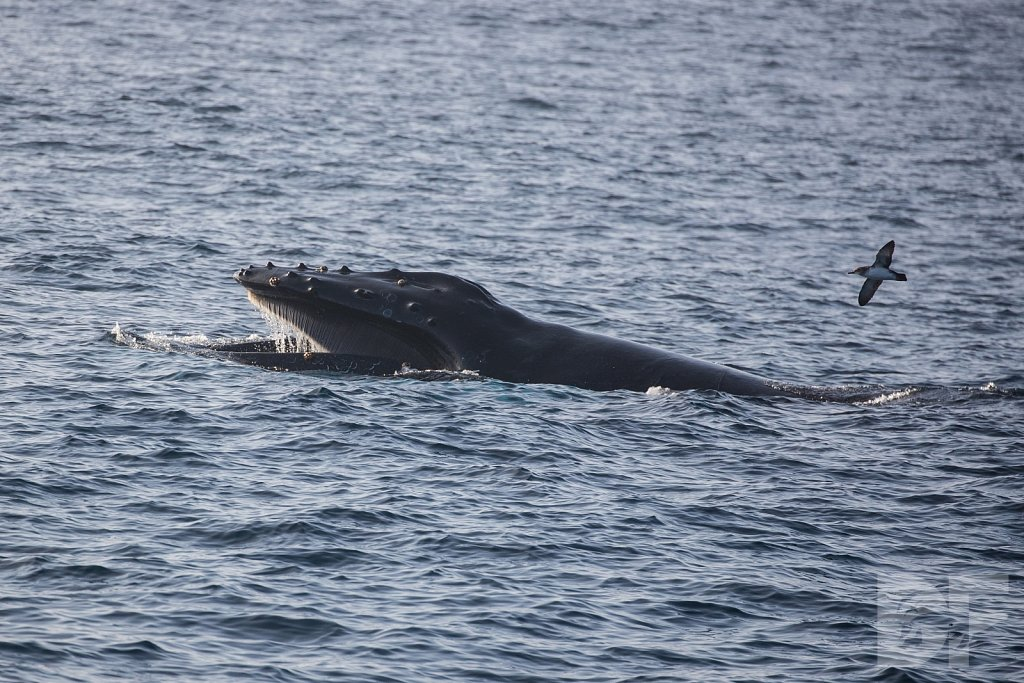 The Holiday Humpbacks VI
