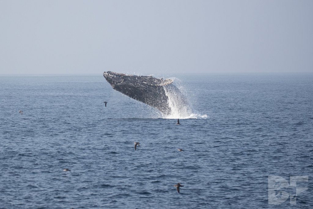 The Holiday Humpbacks VIII
