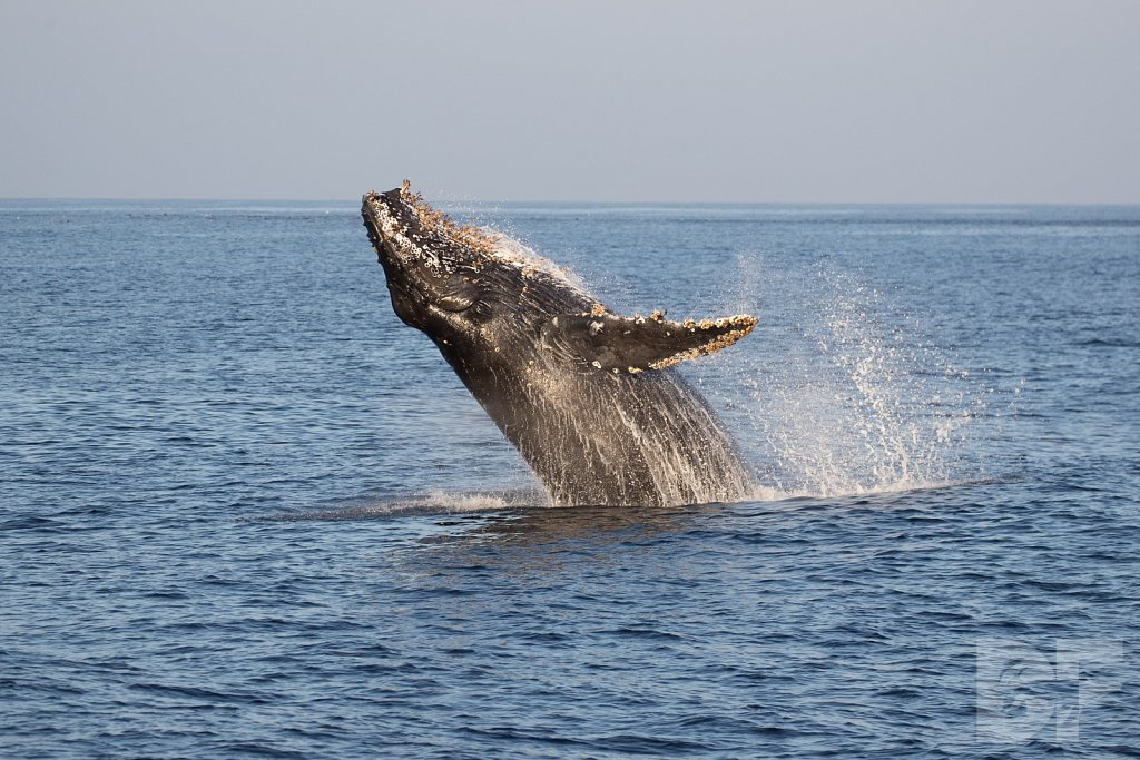 The Holiday Humpbacks XIII