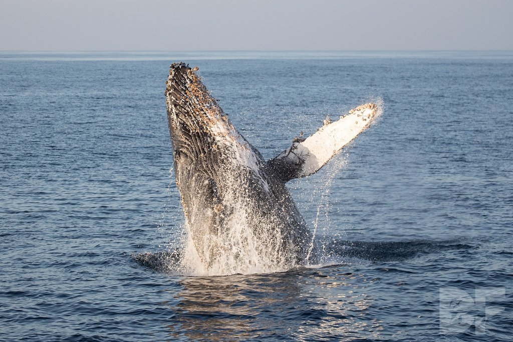 The Holiday Humpbacks XIX