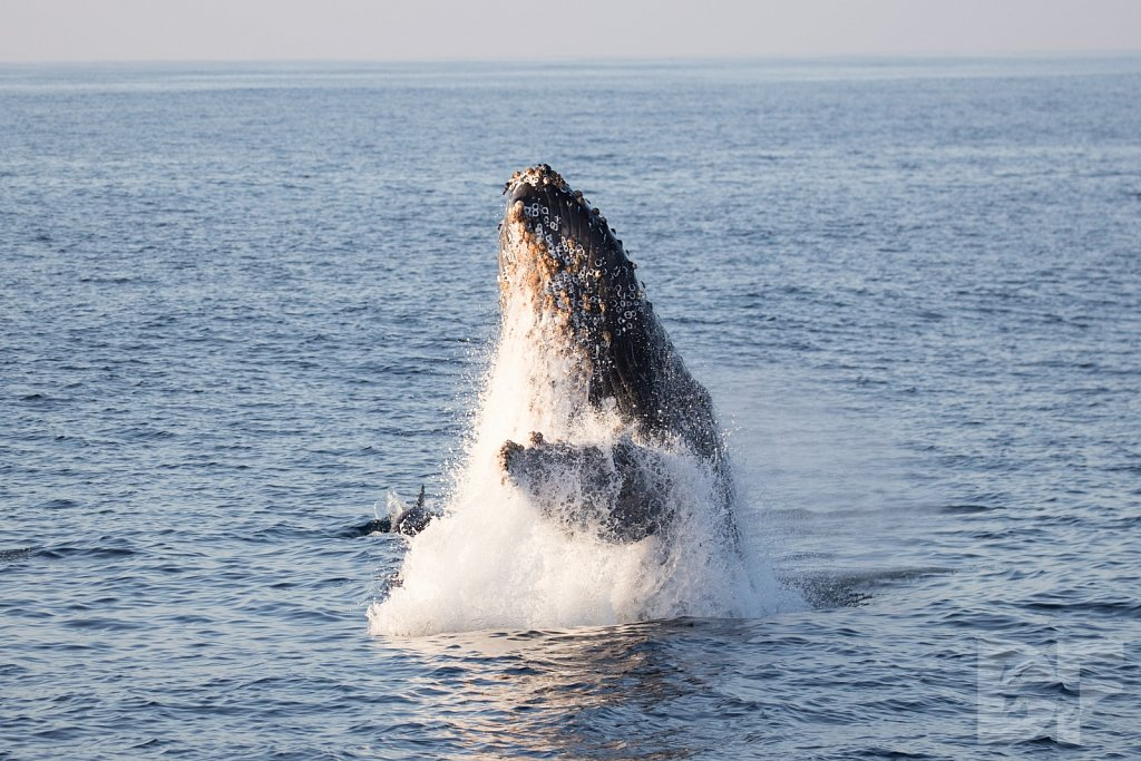 The Holiday Humpbacks XXI