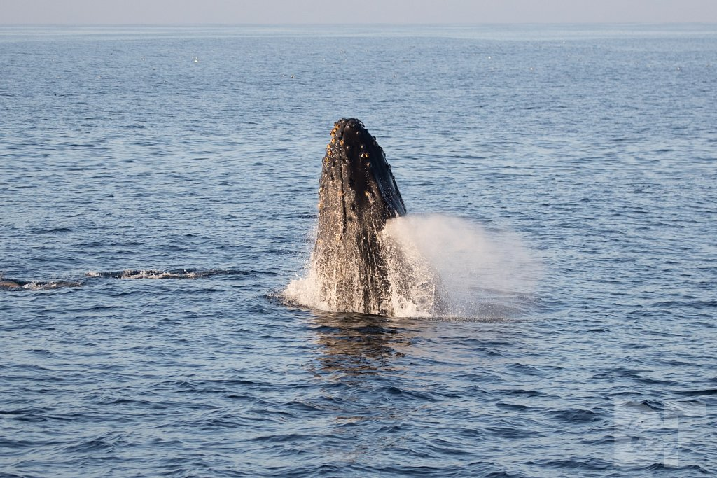 The Holiday Humpbacks XXII