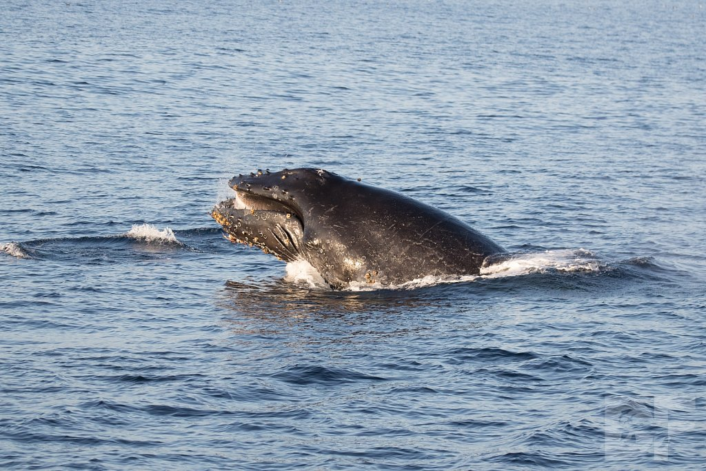 The Holiday Humpbacks XXIV