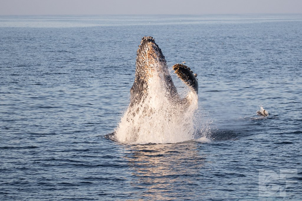The Holiday Humpbacks XXVI