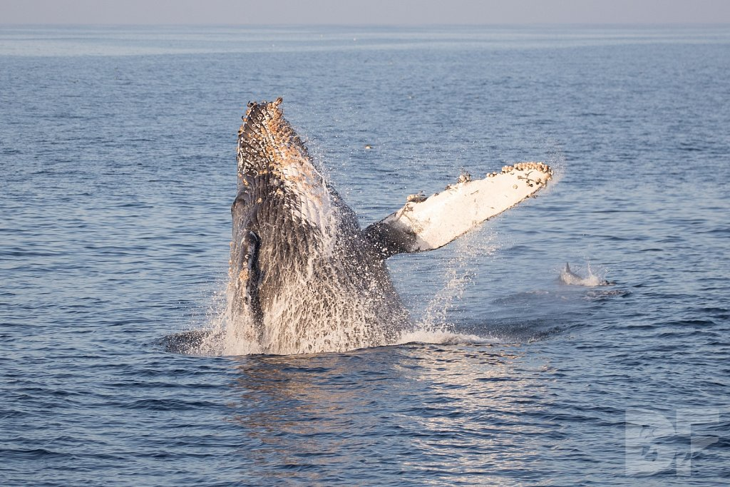 The Holiday Humpbacks XXVII