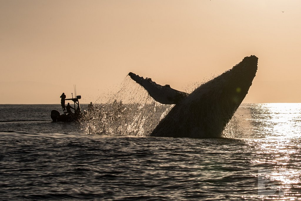 The Holiday Humpbacks XXVIII