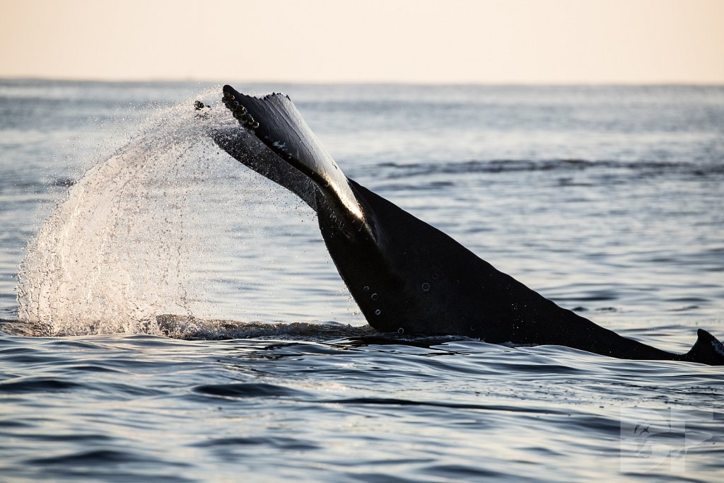 The Holiday Humpbacks XXXIII