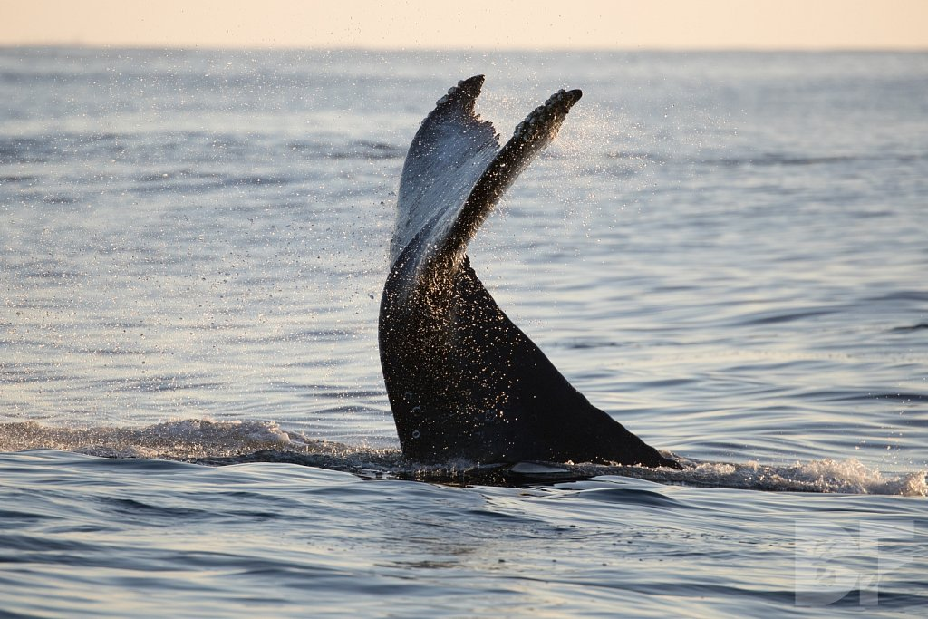 The Holiday Humpbacks XXXIV