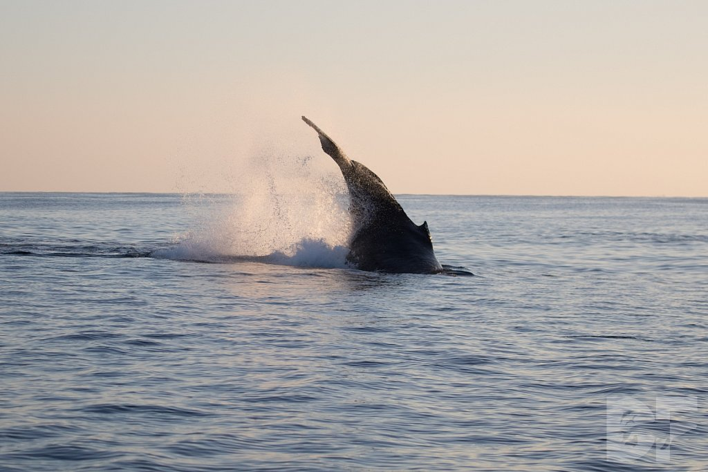 The Holiday Humpbacks XXXVI
