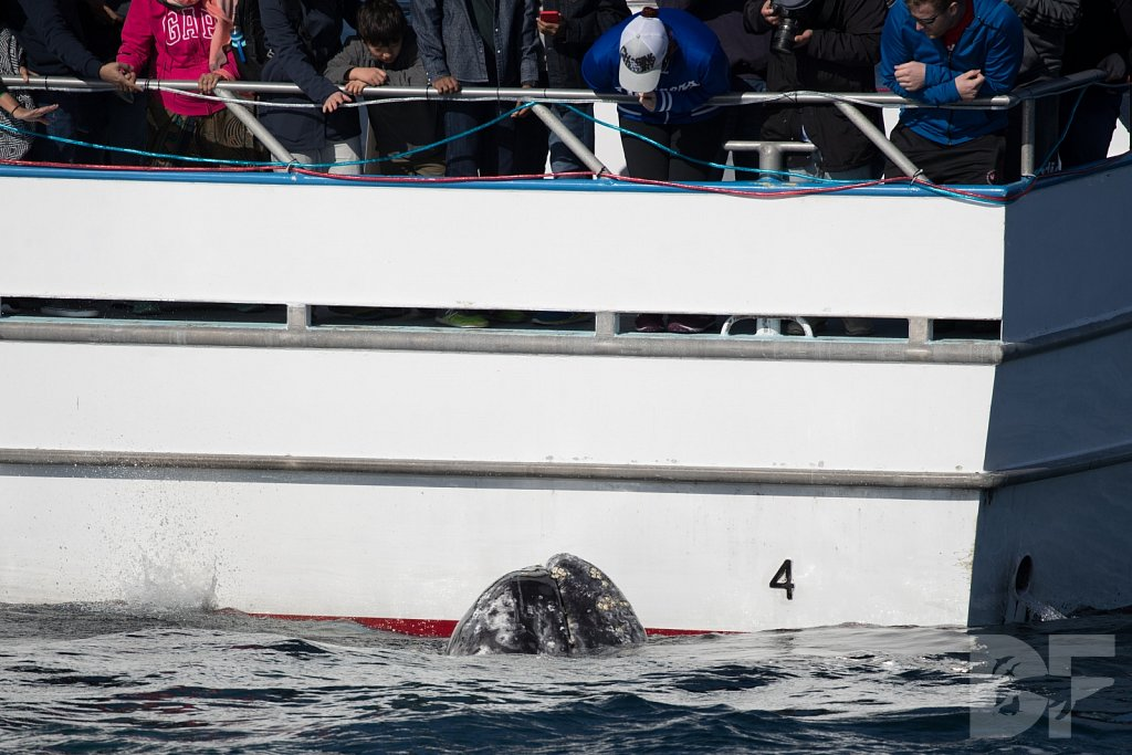 Grandest of Gray Whales VII