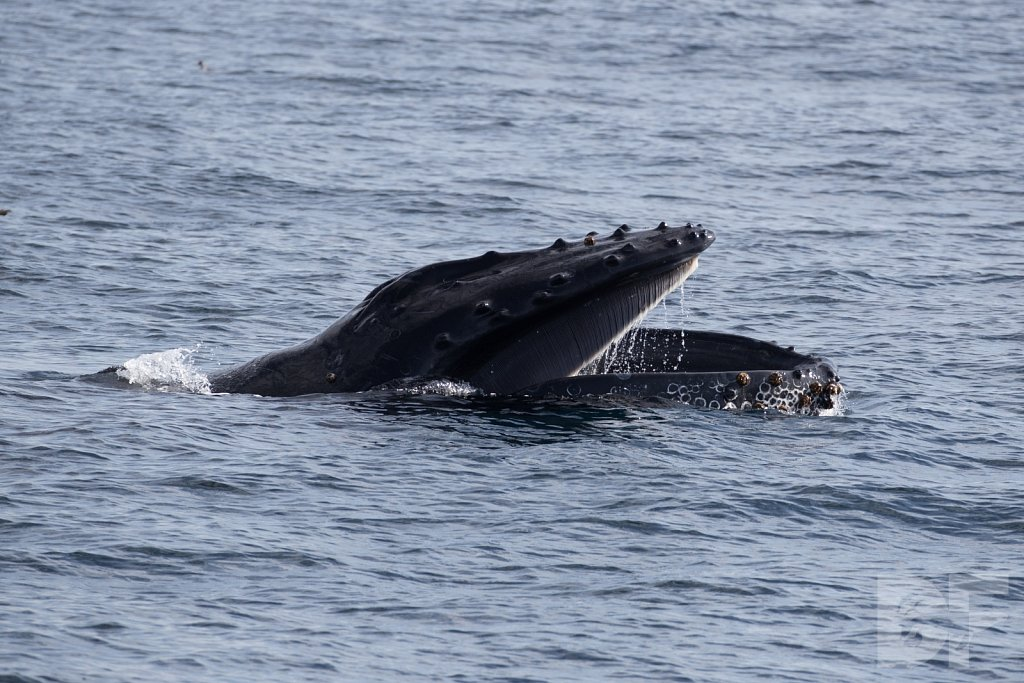 The Holiday Humpbacks XLVIII