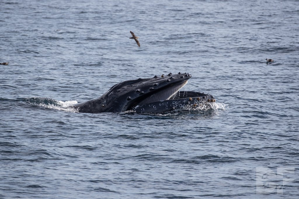 The Holiday Humpbacks XLIX