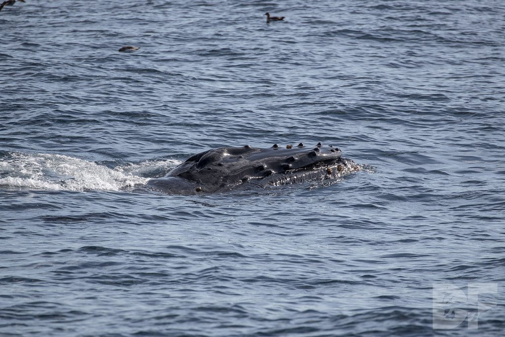 The Holiday Humpbacks L