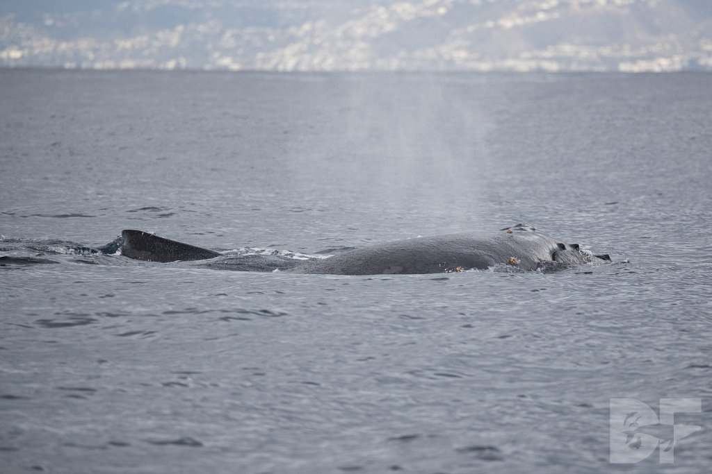 The Holiday Humpbacks LII