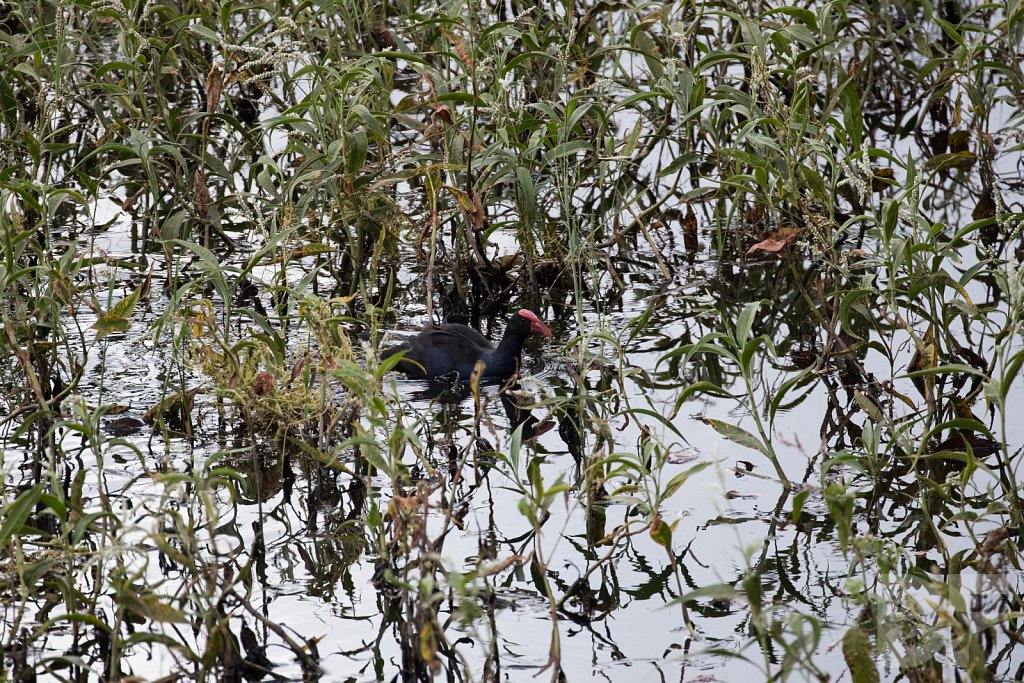 Purple Swamphen III