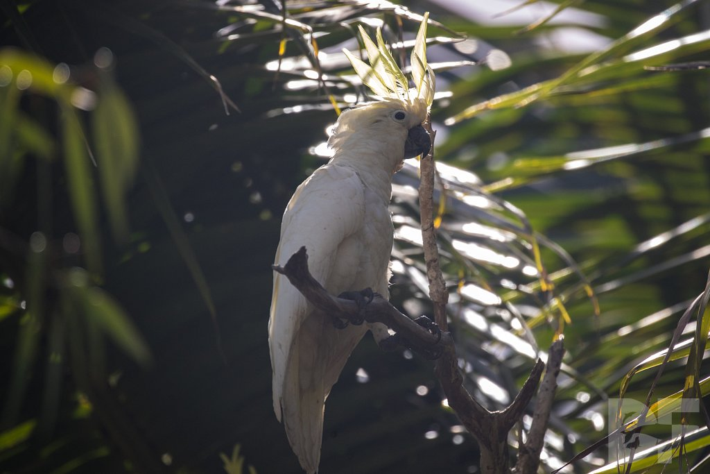 Sulphur Crested Cockatoo II