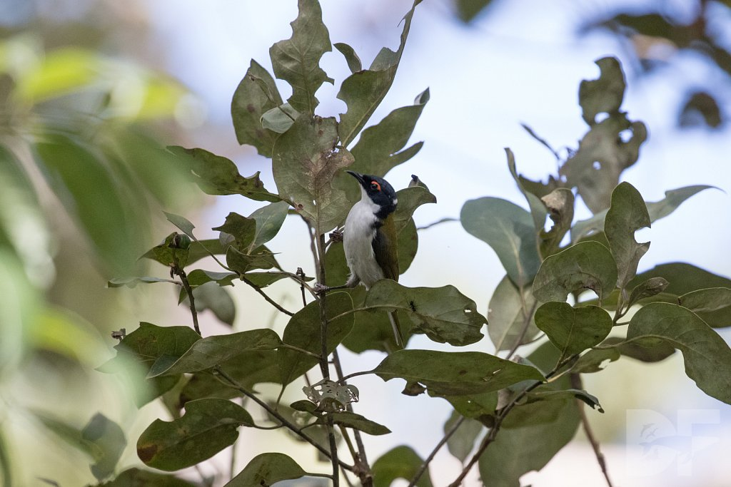 White Naped Honeyeater