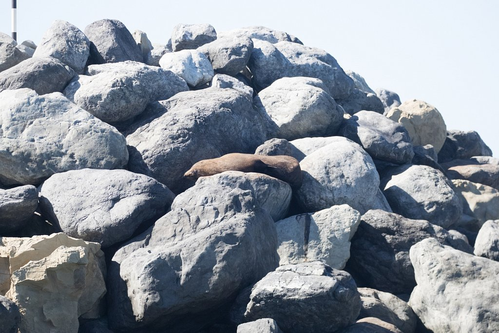 New Zealand Fur Seals IV